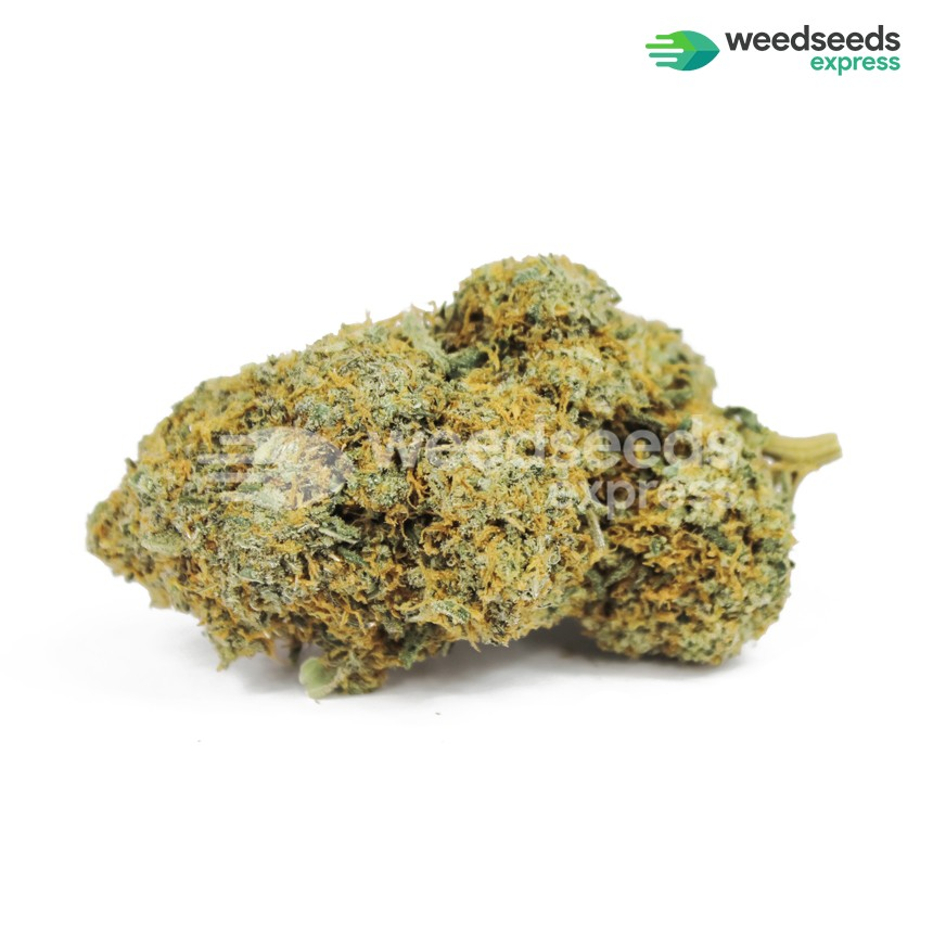 Acapulco Gold feminized seeds bud