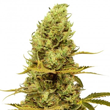 Acapulco Gold feminized seeds