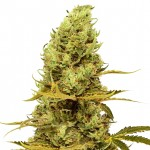 Acapulco Gold feminized seeds plant thumbnail