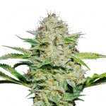 AK 47 feminized seeds plant thumbnail