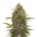 Amnesia Haze x White Widow feminized seeds plant thumbnail