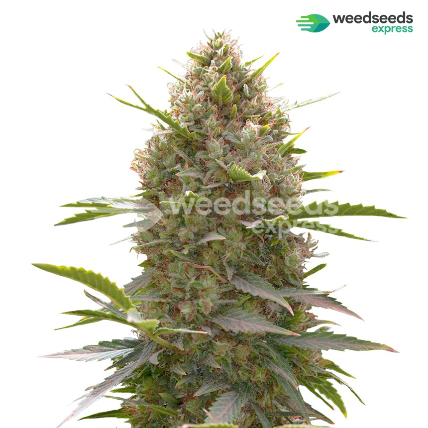 Amnesia Haze x White Widow feminized seeds plant