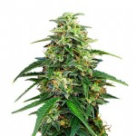 Amnesia Lemon Kush feminized seeds plant thumbnail