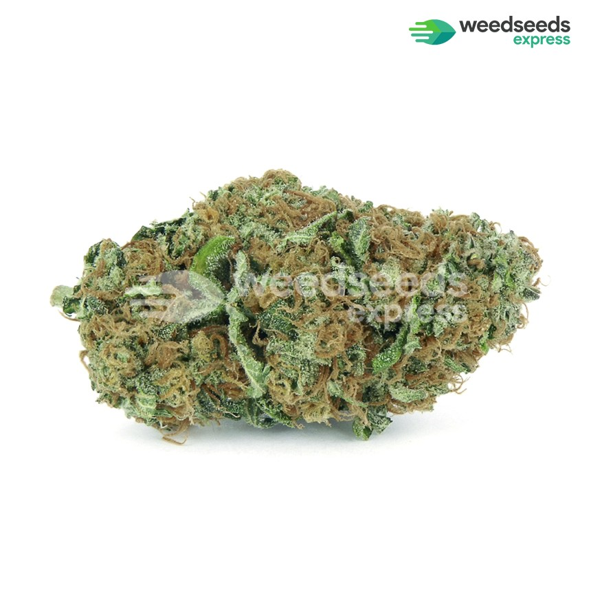 Big Bud feminized seeds bud