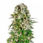 Big Bud feminized seeds plant thumbnail