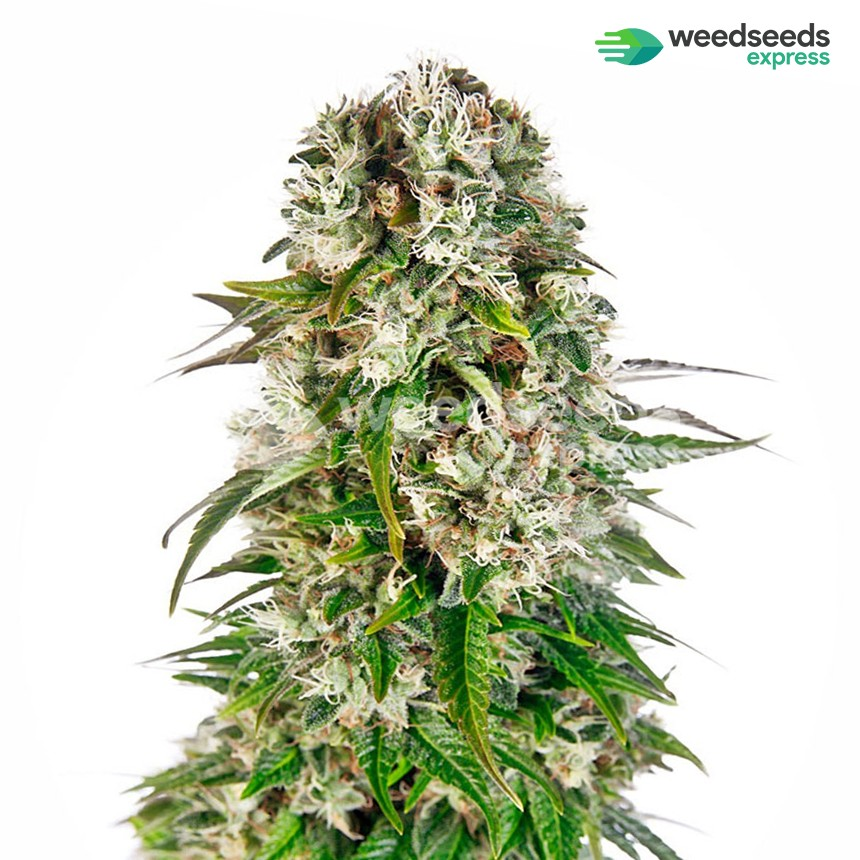 Big Bud feminized seeds plant