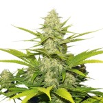 Big Cheese autoflowering feminized seeds plant thumbnail