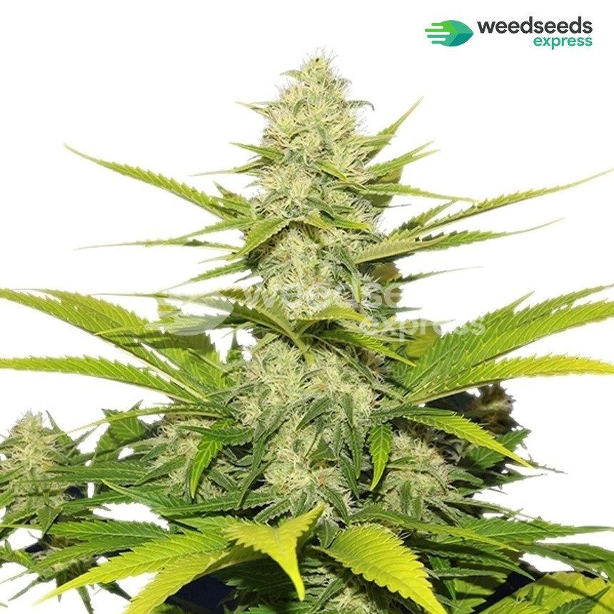 Big Cheese autoflowering feminized seeds plant
