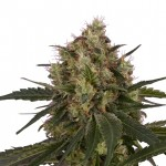 Black Domina feminized seeds plant thumbnail