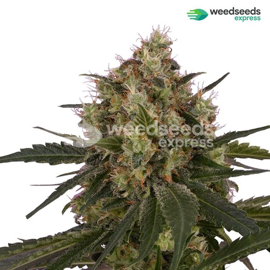 Black Domina feminized seeds plant