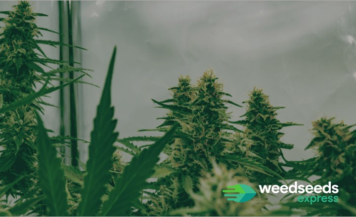 Wondering how to get the best out your autoflower buds? Check it out!