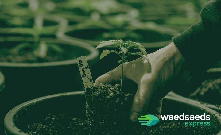 What is the best pot size for autoflowers? Check it out!