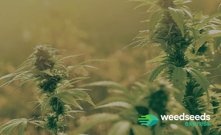 Autoflower seeds UK: which are best for outdoor growing?