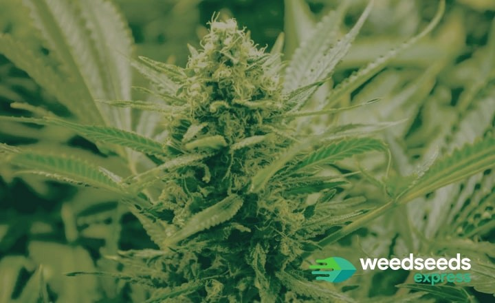 Check the best autoflowers from 2018