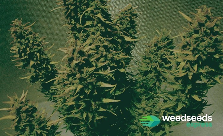 Check the best autoflowers from 2019