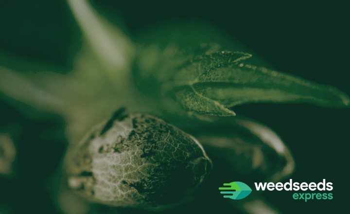 Curious how to find the best autoflower breeders? Check it out!