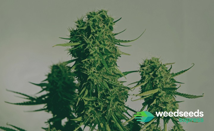 Curious to the best autoflower genetics? Check this top 5!