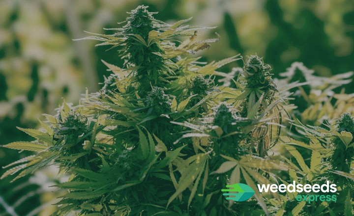 Curious to the best cannabis strains for arid climates? Check it out!