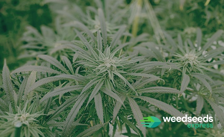 Curious to the best high CBD low THC strains? Check this top 6!