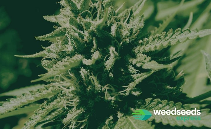 Check the best indica strains from 2018 at Weedseedsexpress
