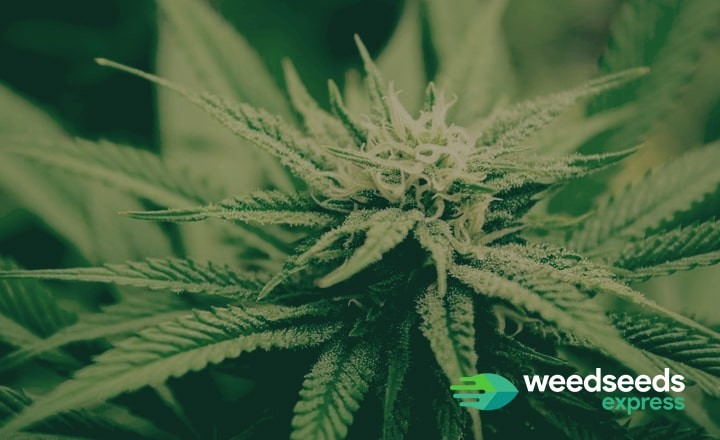Check the best indica strains from 2019 here!