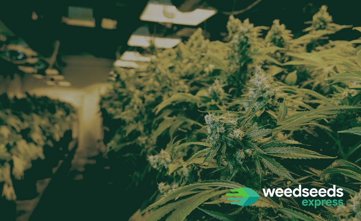 Top 5 best indoor strains for yield and potency