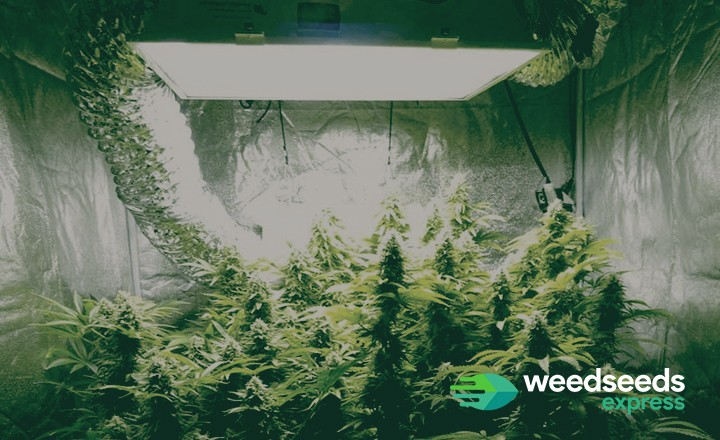 Want to know best light schedule for autoflowers? Check it out!