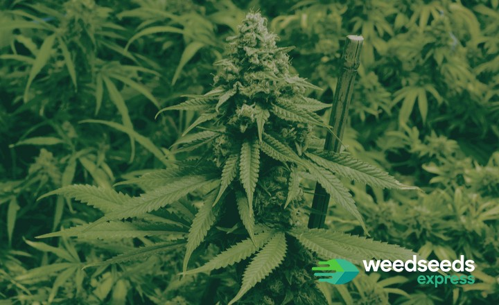 Best outdoor strain for high yield