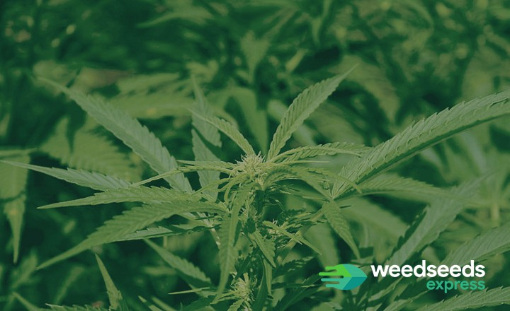 Curious to the best sativa strains 2019? Check it out!