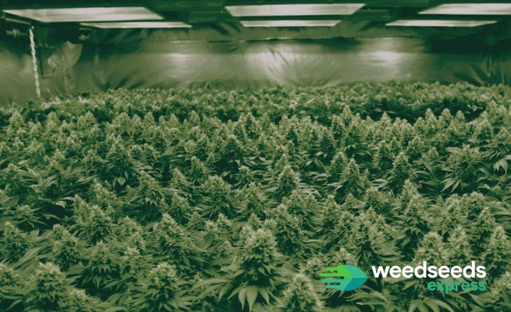 Check this top 5 with the best seeds for sea of green method