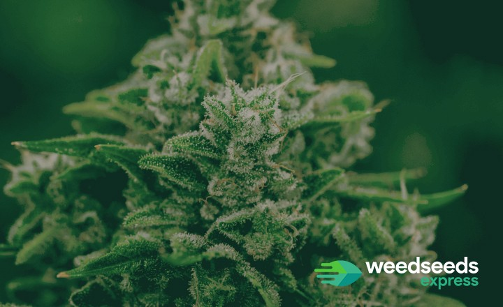 Wondering what the best strains of 2020 are? Check it out!