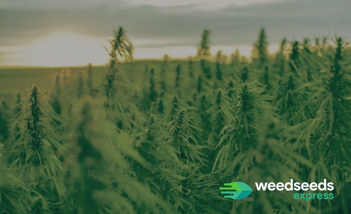 Check out the best cannabis strains for a temperate climate!