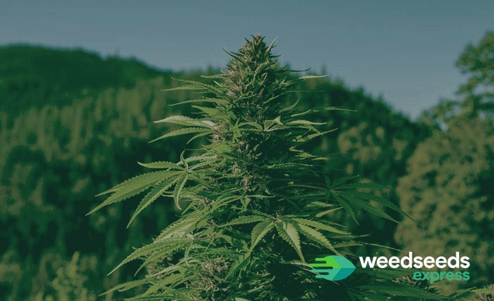 Curious to the best strains for a Mediterranean climate? Check this top 5!