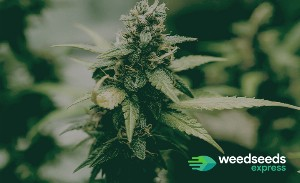 Best Weed Strains of all Time [UPDATED]