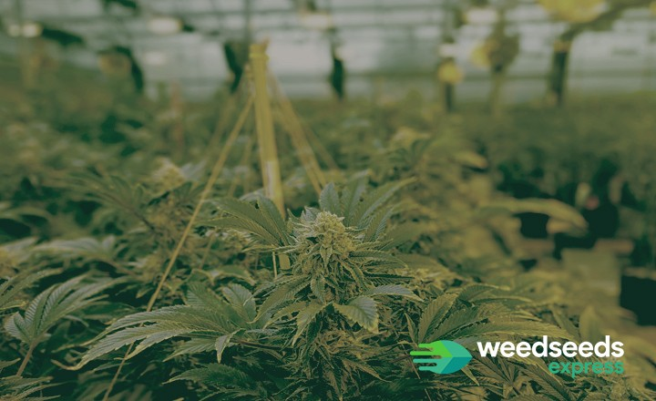 Top 5 - Best strains to grow in a greenhouse