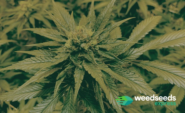 Best strains to grow in Oklahoma