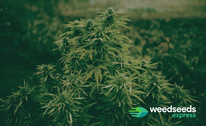 Best strains to grow outdoors in southern California