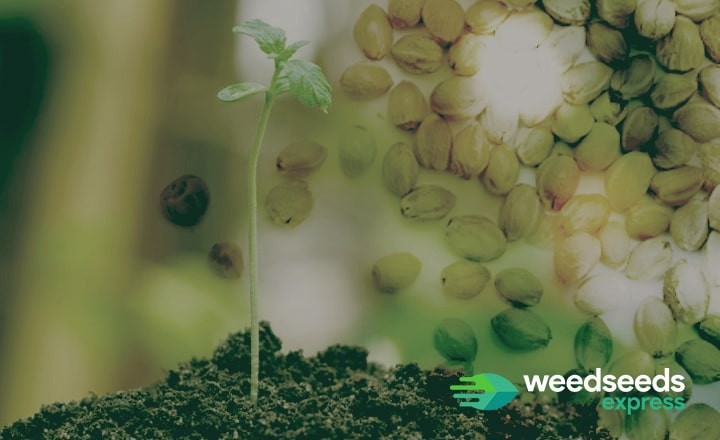 Looking for the best weed seeds for beginners? Check this blog!