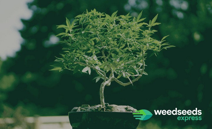 How to bonsai a weed plant? Check it out!