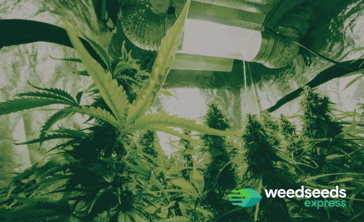 So how to manage the cannabis light cycle? Check it out!