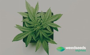 Choosing the right pot size for your cannabis plants