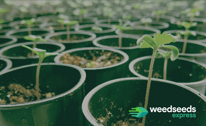 Want to know how to take care of your cannabis seedlings? Check it out!