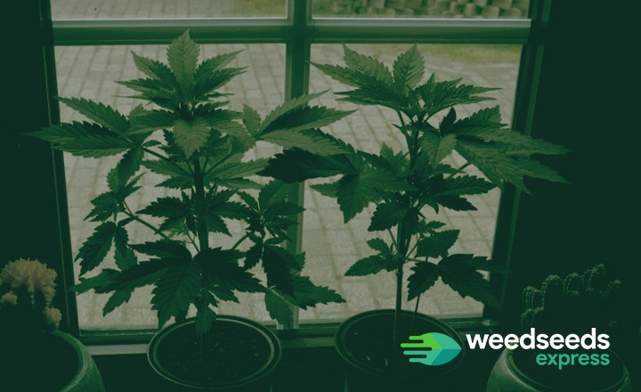 growing weed at home without lights
