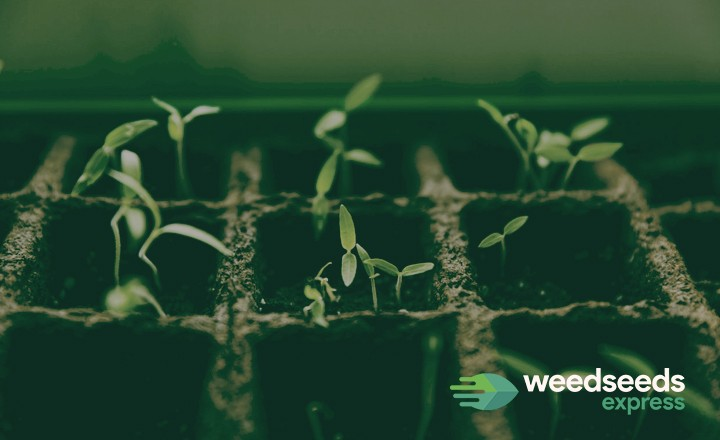 Growing weed from seed? This is what you need to know.