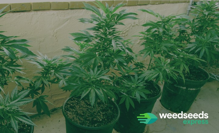 All you need to know about growing weed outdoors in pots