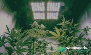 What you should know about growing weed with LED lights