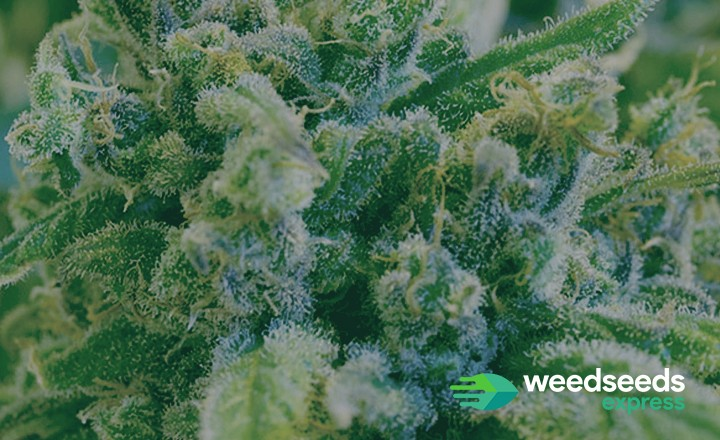 Curious to the highest thc strains ever? Check it out!
