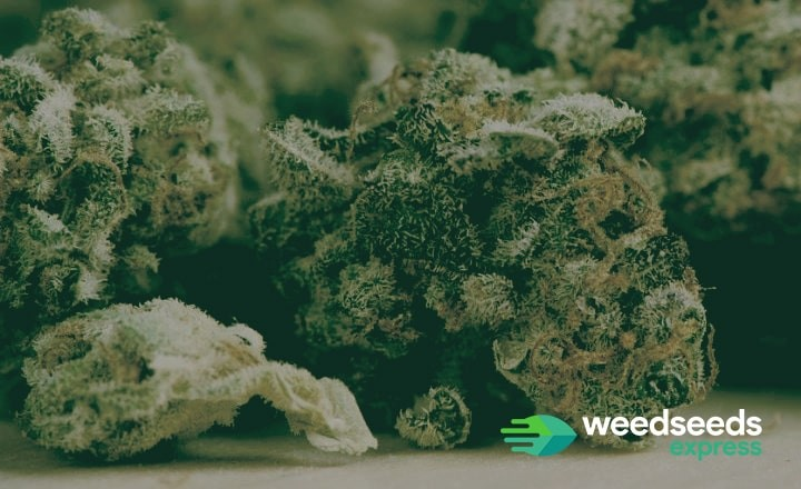 Check our highest yielding cannabis strains of 2018!