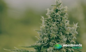 Top 6 | Highest yielding strains 2020