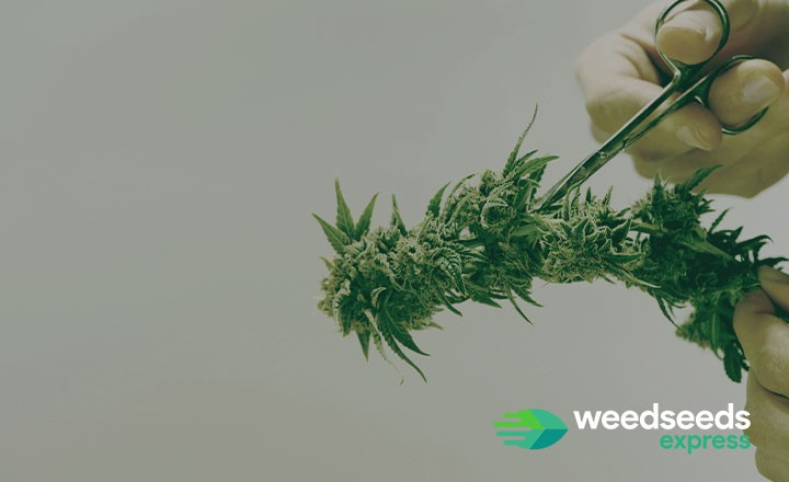 When and how and to trim marijuana plants?